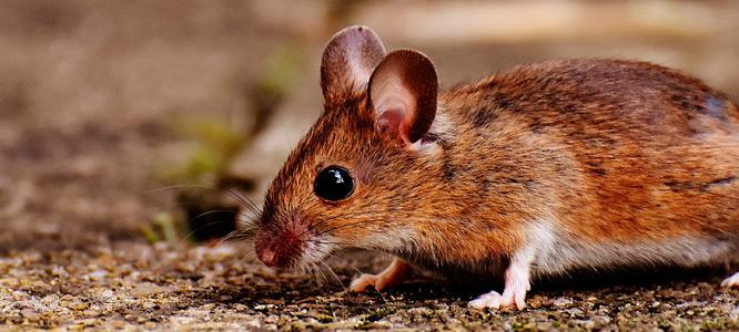 Ratos em supermercados